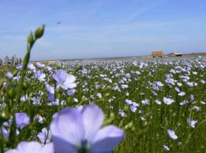 Een-bloeiend-vlasveld-met-tiendatllen-kleine-bloempjes-De-schoonheid-is-van-korte-duur-na-twee-weken-is-het-vlas-nagenoeg-uitgebloeid-